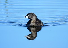 Pied-Billed Grebe x 2 (Patricia Henschen) Tags: colorado rural countryside country sanluisvalley alamosanationalwildliferefuge nationalwildliferefuge alamosacolorado alamosa backroads backroad clouds mountains mountain bird birds wetland waterfowl grebe piedbilled piedbilledgrebe reflection