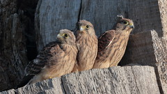 Seniority (Hammerchewer) Tags: kestrel bird nestlings falcon raptor