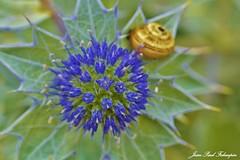 Panicaut maritime (jean-paul Falempin) Tags: plante fleurs littoral côtes sable couleur bleu finistère brittany macrophotographie franceflore nikonpassion