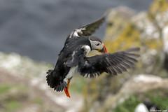 Puffin; Isle of Lunga, Treshnish Isles, Scotland (Michael Leek Photography) Tags: puffin bird flight scotland scottishcoastline scottishlandscapes scotlandslandscapes westcoastofscotland westernscotland hebrides innerhebrides scottishwildlife sea seabird treshnish lunga isleofmull mull thisisscotland michaelleek travel travel2019 michaelleekphotography