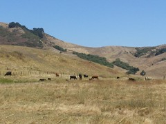 CA Hwy 129 on 7/23/2019 (BobcatWeather) Tags: watsonville hwy129 californiastateroute129 santacruzcounty california usa bobcatweather georgiastigall cows bovine outside