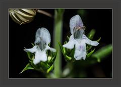 Bohnenkraut (blasjaz) Tags: blasjaz blüten gewürzpflanze heilpflanze lamiaceae pflanze plant patternsinnature