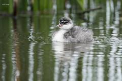 Eared Grebe chick (featherweight2009) Tags: earedgrebe podicepsnigricollis grebes divingbirds birds