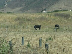 CA Hwy 129 on 7/23/2019 (BobcatWeather) Tags: watsonville hwy129 californiastateroute129 santacruzcounty california usa bobcatweather georgiastigall cows bovine cattle outside