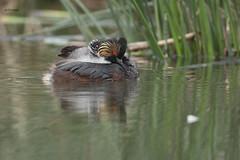Eared Grebe family (featherweight2009) Tags: earedgrebe podicepsnigricollis grebes divingbirds birds