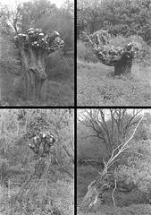 weiden-frame9-12.jpg (lichtbildnerschneider) Tags: ricohtls401 helios44m fomapan200 weiden filmphotography blackwhite trees nature hannover wasserkunst herrenhausen collage lichtbildnerschneider