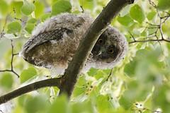 Long-eared owl - Waldohreule (rengawfalo) Tags: asiootus longearedowl waldohreule eule owl vogel vögel bird birder birding natur outdoor wildlife nature tree forest hawk animal ästling juvenil