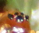 Frontinella huachuca (Birdernaturalist) Tags: arachnida araneae arizona linyphiidae pimacounty richhoyer spider