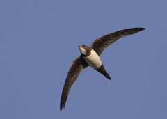Alpine Swift (apus melba) (Steve Ashton Wildlife Images) Tags: alpine swift alpineswift apus melba apusmelba panasonic