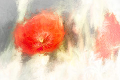1439aTS Another Splash of Red (foxxyg2) Tags: red colour flora flowers poppies topaz topazsoftware topazstudio art experimentalart painterly