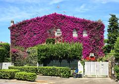 Bougainvillea House II (Frédéric Renaud) Tags: roma rome italy villa garden nohdr casalpalocco eos40d bougainvillea scannerix canon