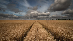 Wheat field (paullangton) Tags: wheat wheatfield crop field hertfordshire golden clouds sky weather countryside nature outdoors landscape farm blue canon 5dmk3 harvest lines corn trees light outside summer