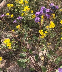 Phacelia crenulata (Birdernaturalist) Tags: arizona boraginaceae plant richhoyer