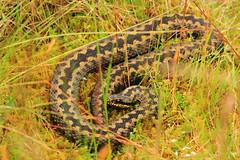 Adder (jon lees) Tags: england uk northumberland adder snake reptile vipera berus