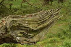 RipOff (Tony Tooth) Tags: nikon d7100 sigma 70mm tree lines ripped shear sheared stilllife woods hencloud upperhulme staffs staffordshire staffordshiremoorlands shibui wabisabi