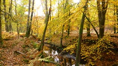 New Forest NP, Hampshire, UK (east med wanderer) Tags: england hampshire newforestnationalpark nationalpark beech oak bracken autumn highlandwater lyndhurst