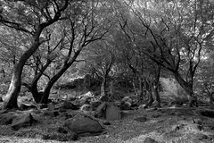 BeechWood (Tony Tooth) Tags: nikon d7100 sigma 1750mm trees beech woodland rocks rocky hillside bw blackandwhite monochrome hencloud upperhulme staffs staffordshire staffordshiremoorlands