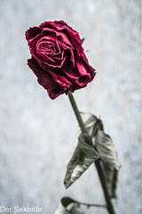 Einsame Rose --- Lonely Rose (der Sekretär) Tags: bern berne blume blumen bremgartencemetry bremgartenfriedhof detail friedhof grab grabmal grabstein gräber kantonbern rose schweiz switzerland cantondeberne cemetery closeup dead death flower flowers gestorben grave gravestone graveyard lasuisse sterben tombstone tot verwelken verwelkt welk wilt wilted