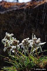 Edelweiss / Stella alpina (silvano fabris) Tags: macrophotography montagna mountain canonphotography photonature nature flowers fiori stellaalpina edelweiss