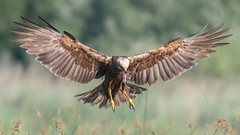 Marsh Harrier (JS_71) Tags: nature wildlife nikon photography outdoor 500mm bird new see natur pose moment outside animal flickr colour poland sunshine beak feather nikkor d500 wildbirds planet global national wing eye watcher
