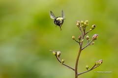 The bee is coming! (Thelma Gatuzzo) Tags: natureza usa eua travelphotography travel nature thelmagatuzzo© canoneosr viagem 2019 bee insect flying bokeh