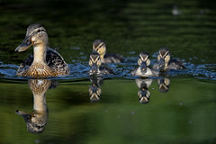 Family day out (Paul wrights reserved) Tags: duck ducks ducklings bird birding birds birdphotography birdwatching reflection reflections reflectionphotography water swim swimming