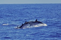 Elegance Airborne (Deepgreen2009) Tags: pod dolphins striped atlantic mammal cetaceans water ocean sea group animals wildlife diving leaping