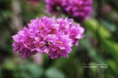 Flowers by Alberto Marquez Marin 🇻🇪 (Alberto Márquez Marín) Tags: 2019 copyrighted nature naturephotography venezuela