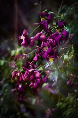 Clematis under the carport (judy dean) Tags: judydean 2019 clematis sunshine red flowers climber