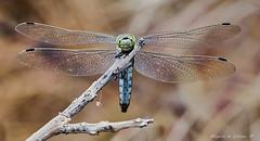 Orthetrum cancellatum-7705 (Miguel Angel Larrea) Tags: macro insecto insect naturaleza nature wildlife libelula dragonfly anisoptera anisoptero orthetrum cancellatum spain madrid odonato odonata