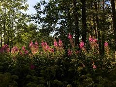 Fireweed Flowers in Fiery Sunshine (halleluja2014) Tags: shadow summer evening afternoon july falun enlightened fireweed lightnshadow mjölkört rallarros fierysunshine angustifolium chamaenerion geitrams gederams