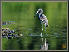 A moment to reflect (WanaM3) Tags: wanam3 nikon d7100 nikond7100 texas pasadena clearlakecity horsepenbayou bayou outdoors nature wildlife canoeing paddling water reflection foraging animal bird heron tricoloredheron egrettatricolor