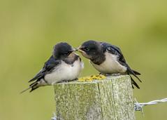 just a little peck , siblings love ! (alderson.yvonne) Tags: swallow juvenille summer siblings youngsters love growingup yvonne yvonnealderson