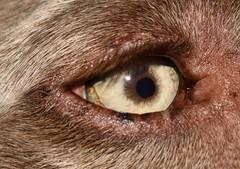 Regard animal (Josée Ferland) Tags: braqueallemand chien oeil regard