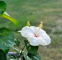 DSC_0491e - ~ Hibiscus (BDC Photography) Tags: pipecreek texas usa flower hibiscus nikonhn2lenshood bwfpro52mmkr15skylight11xmcrfilter nikonafnikkor50mmf14dlens nikond3 nikon
