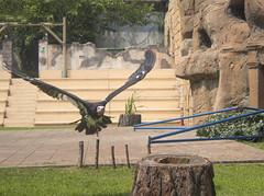 """Dal """"Re leone"""" con furore - 2 (V.T.R.G.) Tags: zoomtorino nature africa wildanimals avvoltoio"""