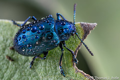 Blue Milkweed Beetle (Tom's Macro and Nature Photographs) Tags: macrophotography insects beetles coleoptera montana blue leafbeetles dewdrops metallic chrysomelidae