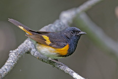 American Redstart (Alan Gutsell) Tags: americanredstart american redstart warbler songbird migration june michigan setophagaruticilla tahquamenonfalls statepark upper peninsula usa wildlife photo photography canon