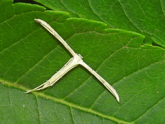 Plain Plume Moth, Hellinsia homodactylus (2) (Herman Giethoorn) Tags: plumemoth moth insect
