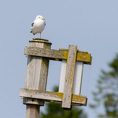 Gull (Lester Public Library) Tags: tworiverswisconsin tworivers wisconsin lakemichigan lake water gulls birds flight harbor tworiversharbor lesterpubliclibrarytworiverswisconsin readdiscoverconnectenrich wisconsinlibraries