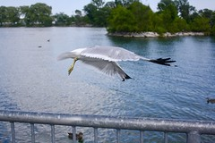 An alien in our world (i_kaya@rogers.com) Tags: seagull lake alien duck lakeontario canada ontario photo photography photograph art trees