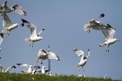 Flight (Lester Public Library) Tags: tworiverswisconsin tworivers wisconsin lakemichigan lake water gulls birds flight harbor tworiversharbor lesterpubliclibrarytworiverswisconsin readdiscoverconnectenrich wisconsinlibraries