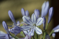 20190724 Agapanthus (Dolores.G) Tags: 365the2019edition 3652019 day205365 24jul19