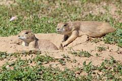 Prairie Dogs (philipbouchard) Tags: prairiedog cynomys sciuridae rodent mammal burrow hole firstcreekden openspace rockymountainarsenal nationalwildliferefuge denver colorado