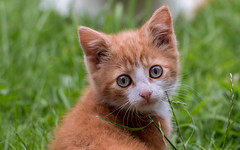 Kitten (Ronan McCormick) Tags: ilobsterit 2019 canon ireland cat cats catsofflickr ginger kitten portrait stray