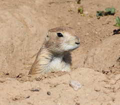 Prairie Dog (philipbouchard) Tags: prairiedog cynomys sciuridae rodent mammal burrow hole firstcreekden denver colorado openspace rockymountainarsenal nationalwildliferefuge