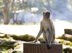 Monkey Sees (Ali Sabbagh) Tags: monkey nature travel world canon eosr light malaysia animal primal mammal