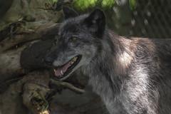 Seneca Park Wolf (bendengler92) Tags: seneca park zoo wolf