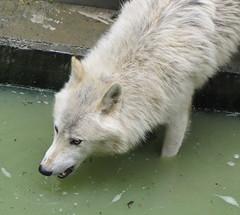 Wolf (jopol1955) Tags: wolf loup beeteburg bettemburg bettembourg märchenpark parcmerveilleux