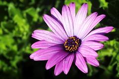 Purple Daisy after rain (Christian Chene Tahiti) Tags: rose canon plante purple extérieur 6d pourpre newzealand flower macro nature rain closeup bokeh violet jardin daisy mauve marguerite goutte pétale nouvellezélande gouttedepluie perledeau auckland